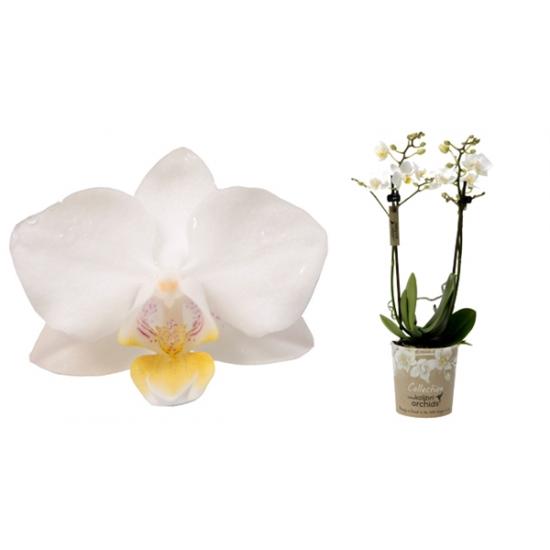 Orchidej Můrovec, Phalaenopsis Kolibri Samoa, 2 výhony, bílá-3361