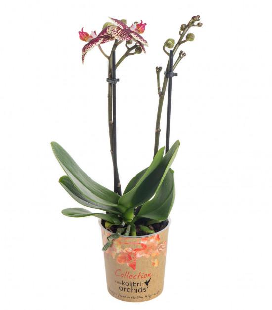 Orchidej Můrovec, Phalaenopsis Kolibri Spain, 2 výhony, žluto - vínová-13729