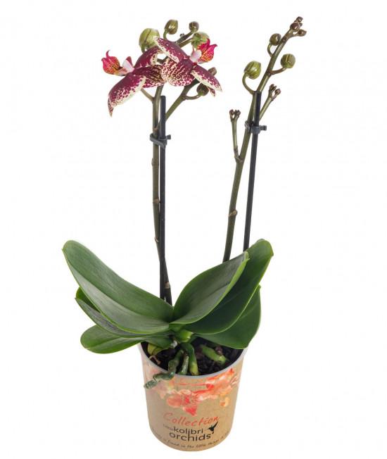 Orchidej Můrovec, Phalaenopsis Kolibri Spain, 2 výhony, žluto - vínová-13732