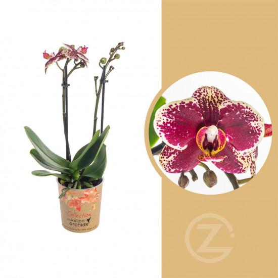 Orchidej Můrovec, Phalaenopsis Kolibri Spain, 2 výhony, žluto - vínová