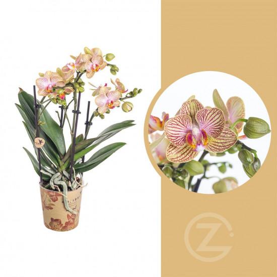 Orchidej Můrovec, Phalaenopsis Kolibri Trento, 2 výhony, žluto - vínová
