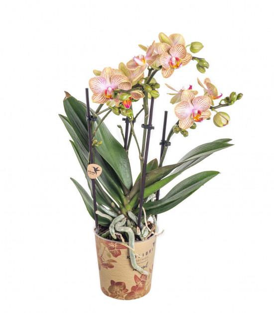 Orchidej Můrovec, Phalaenopsis Kolibri Trento, 2 výhony, žluto - vínová-11996