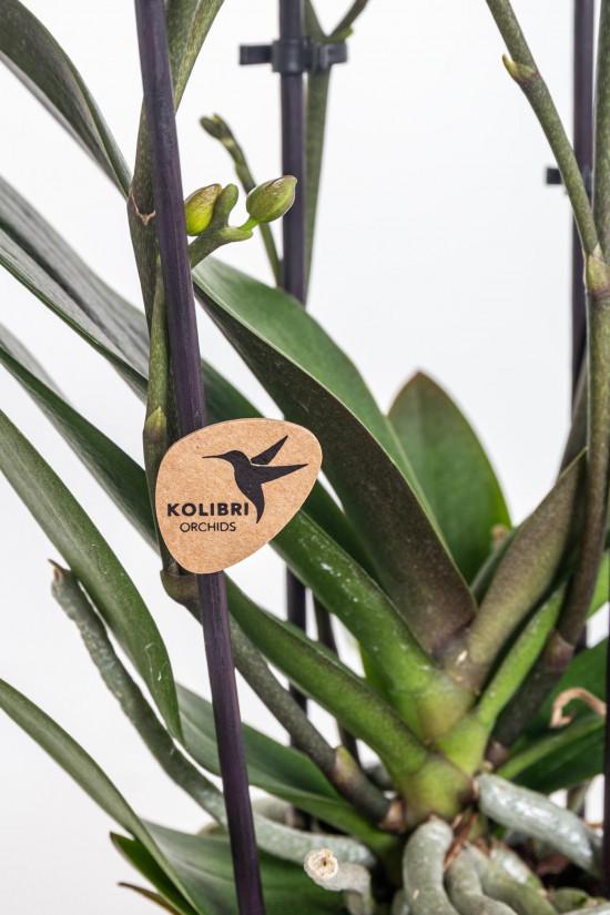 Orchidej Můrovec, Phalaenopsis Kolibri Trento, 2 výhony, žluto - vínová-11997