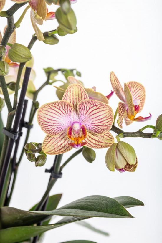 Orchidej Můrovec, Phalaenopsis Kolibri Trento, 2 výhony, žluto - vínová-11998