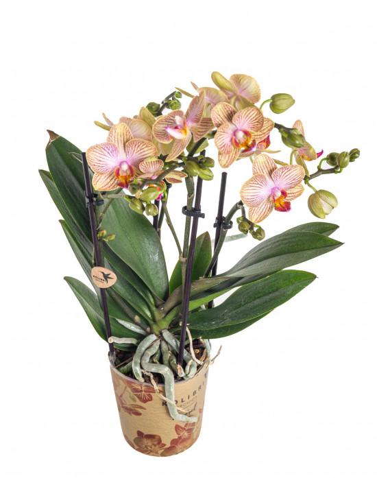 Orchidej Můrovec, Phalaenopsis Kolibri Trento, 2 výhony, žluto - vínová-11999