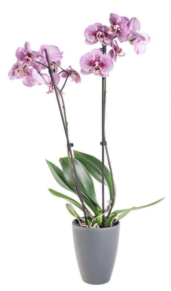 Orchidej Můrovec, Phalaenopsis Kornelia, 2 výhony, růžová-12528