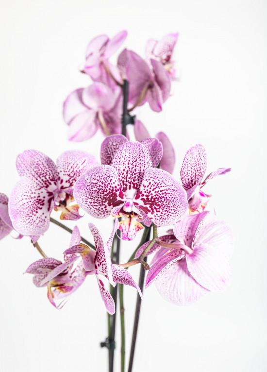 Orchidej Můrovec, Phalaenopsis Kornelia, 2 výhony, růžová-12529