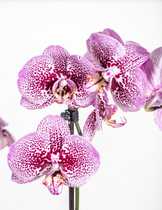 Orchidej Můrovec, Phalaenopsis Kornelia, 2 výhony, růžová-12530