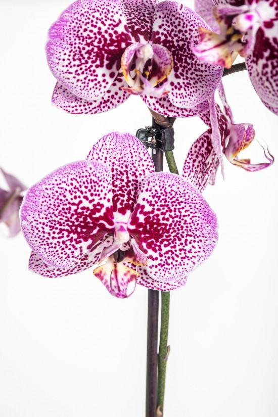 Orchidej Můrovec, Phalaenopsis Kornelia, 2 výhony, růžová-12531