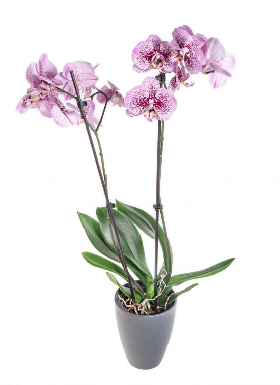 Orchidej Můrovec, Phalaenopsis Kornelia, 2 výhony, růžová-12532