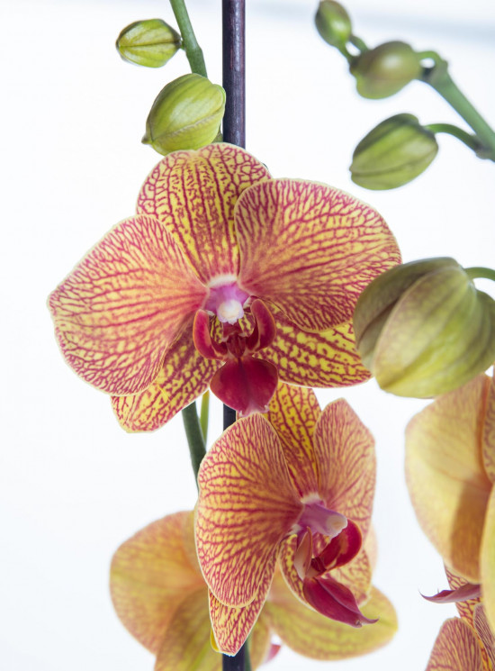 Orchidej Můrovec, Phalaenopsis Long Apollo, 2 výhony, oranžová-14304