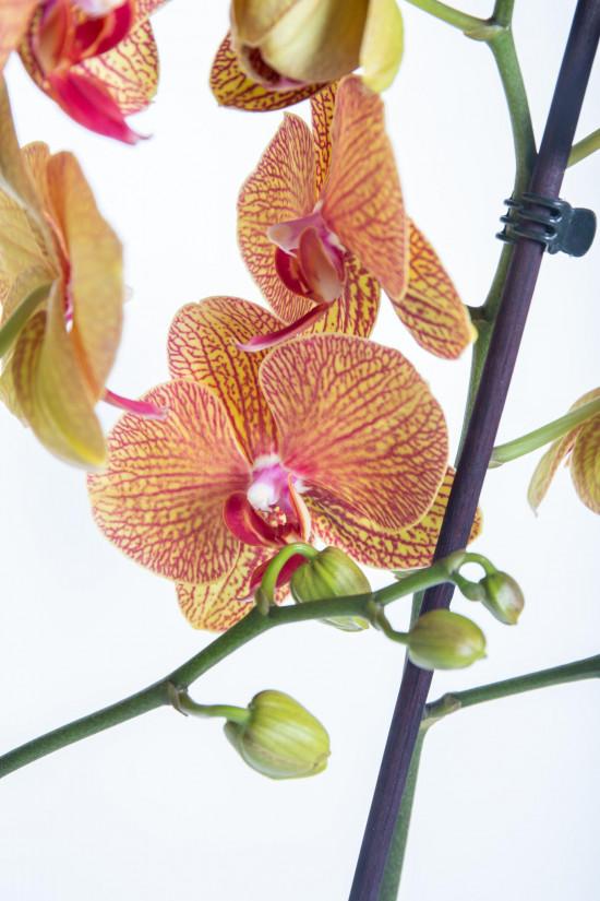 Orchidej Můrovec, Phalaenopsis Long Apollo, 2 výhony, oranžová-14305