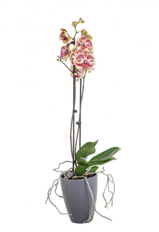 Orchidej Můrovec, Phalaenopsis Mariola, 2 výhony, žluto - vínová-13702