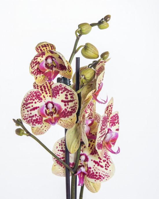 Orchidej Můrovec, Phalaenopsis Mariola, 2 výhony, žluto - vínová-13703