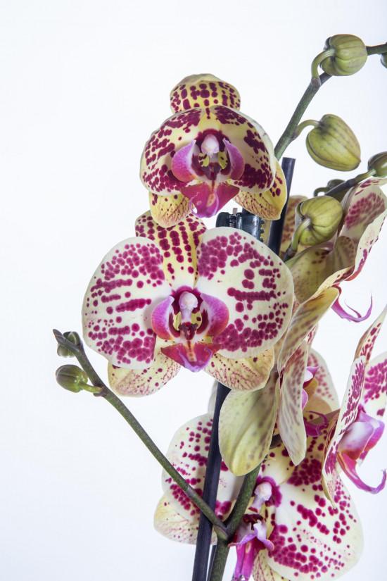Orchidej Můrovec, Phalaenopsis Mariola, 2 výhony, žluto - vínová-13704