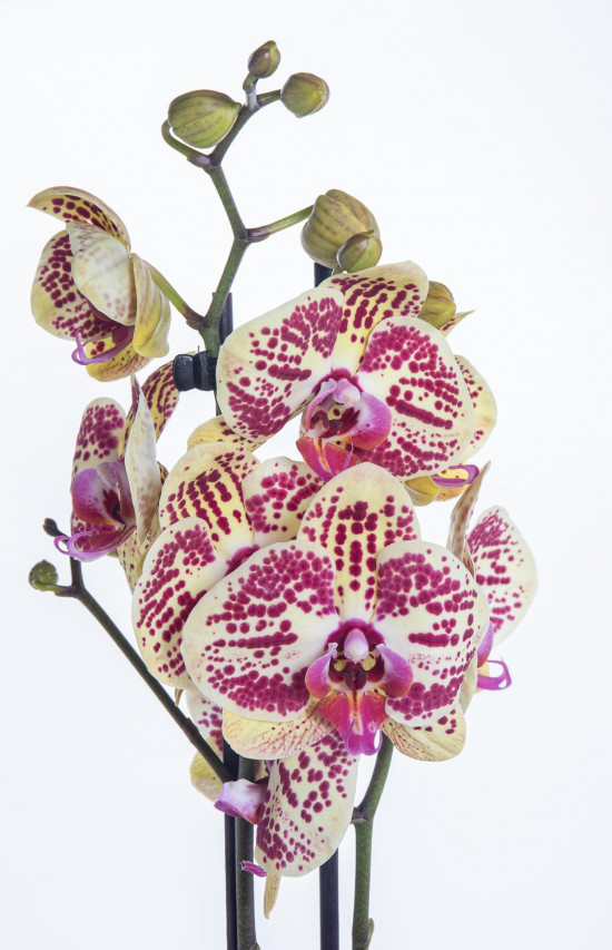 Orchidej Můrovec, Phalaenopsis Mariola, 2 výhony, žluto - vínová-13705