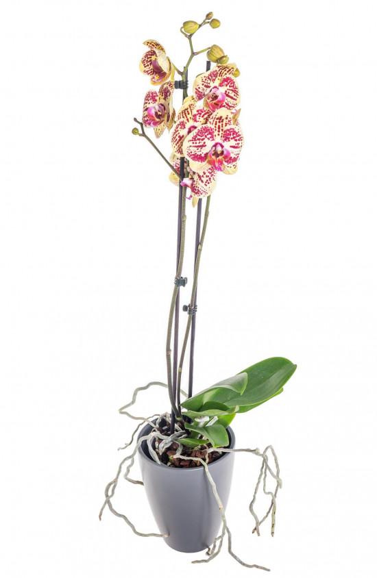 Orchidej Můrovec, Phalaenopsis Mariola, 2 výhony, žluto - vínová-13706