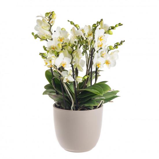 Orchidej Můrovec, Phalaenopsis multiflora Bellissimo, vícevýhonová, bílá-7303