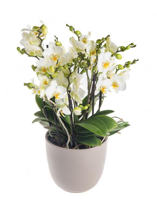 Orchidej Můrovec, Phalaenopsis multiflora Bellissimo, vícevýhonová, bílá-7304