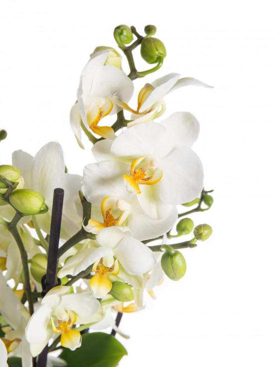 Orchidej Můrovec, Phalaenopsis multiflora Bellissimo, vícevýhonová, bílá-7305