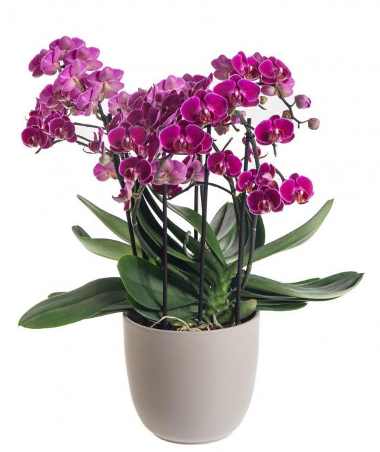 Orchidej Můrovec, Phalaenopsis multiflora Bellissimo, vícevýhonová, tmavě růžová-7296