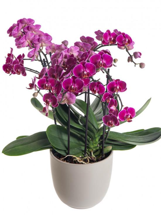 Orchidej Můrovec, Phalaenopsis multiflora Bellissimo, vícevýhonová, tmavě růžová-7298
