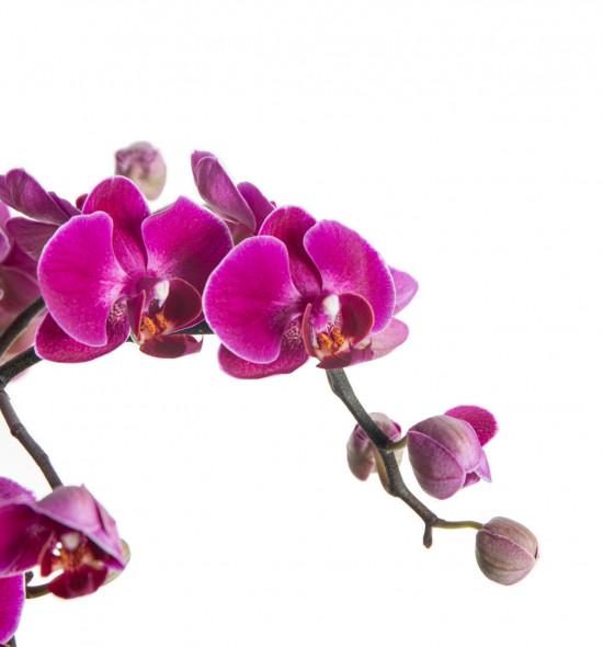 Orchidej Můrovec, Phalaenopsis multiflora Bellissimo, vícevýhonová, tmavě růžová-7299