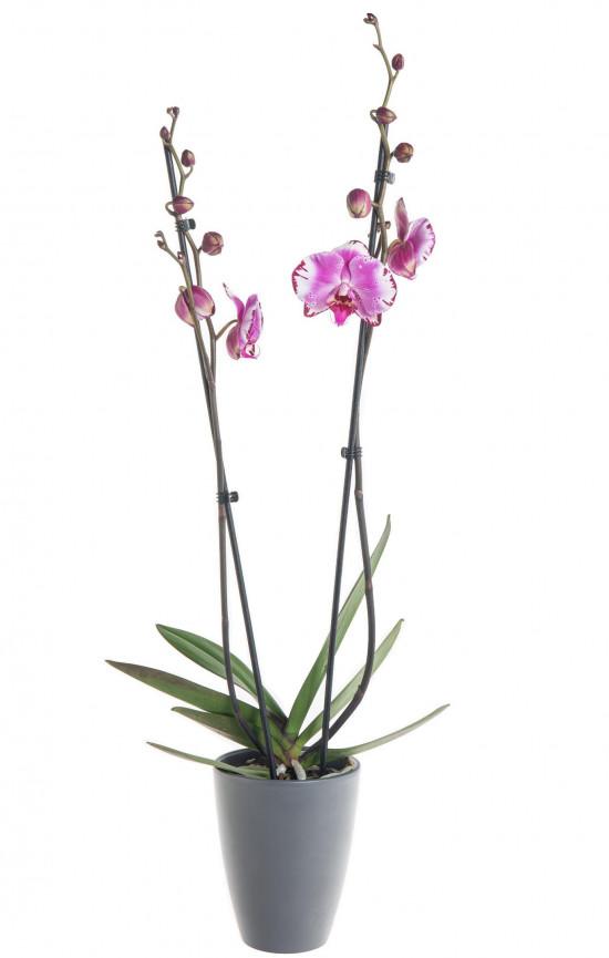 Orchidej Můrovec, Phalaenopsis Mystery, 2 výhony, bílo - fialová-7336