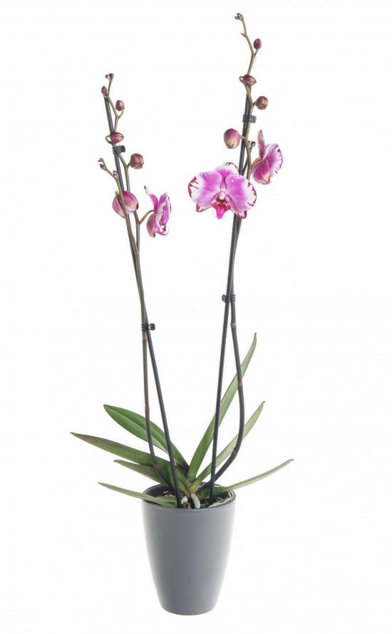 Orchidej Můrovec, Phalaenopsis Mystery, 2 výhony, bílo - fialová-7337