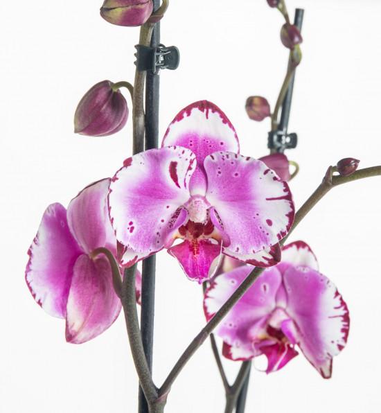 Orchidej Můrovec, Phalaenopsis Mystery, 2 výhony, bílo - fialová-7339