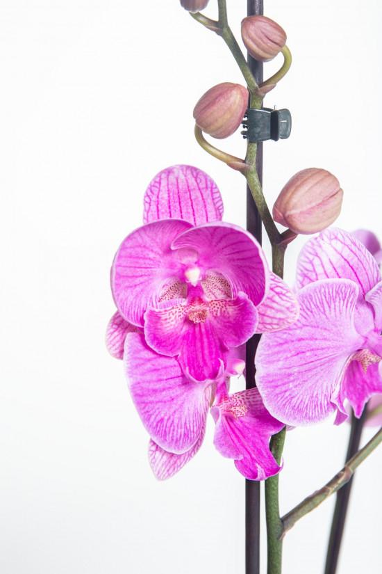 Orchidej Můrovec, Phalaenopsis Naomi, 2 výhony, růžová-14888