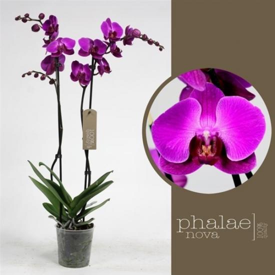 Orchidej Můrovec, Phalaenopsis Party Time, 2 výhony, tmavě růžová