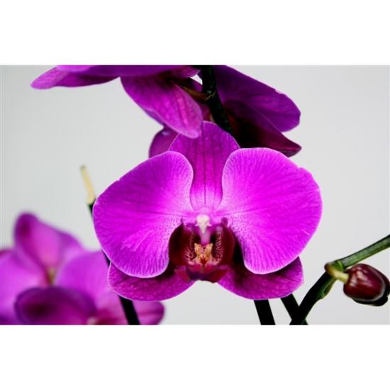 Orchidej Můrovec, Phalaenopsis Party Time, 2 výhony, tmavě růžová-3419