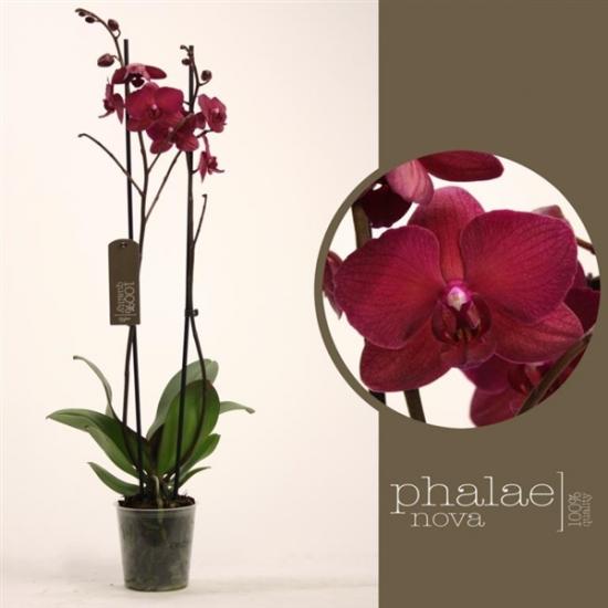 Orchidej Můrovec, Phalaenopsis Pavarotti, 2 výhony, vínová-2435
