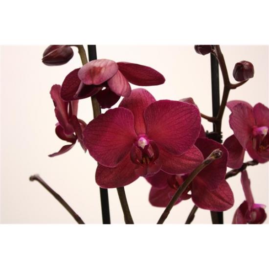 Orchidej Můrovec, Phalaenopsis Pavarotti, 2 výhony, vínová-2436
