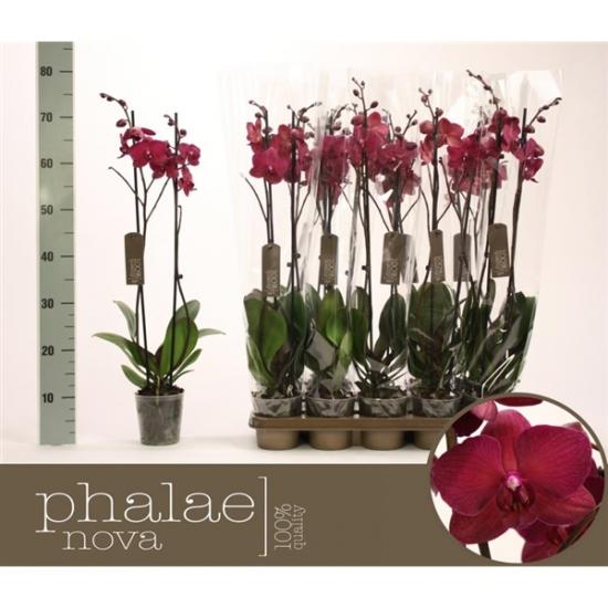 Orchidej Můrovec, Phalaenopsis Pavarotti, 2 výhony, vínová-2437