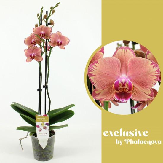 Orchidej Můrovec, Phalaenopsis Pirate Picotee, 2 výhony, bílo - růžová