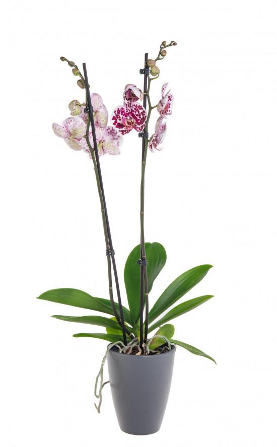 Orchidej Můrovec, Phalaenopsis Polka Dots, 2 výhony, bílo - vínová-11961