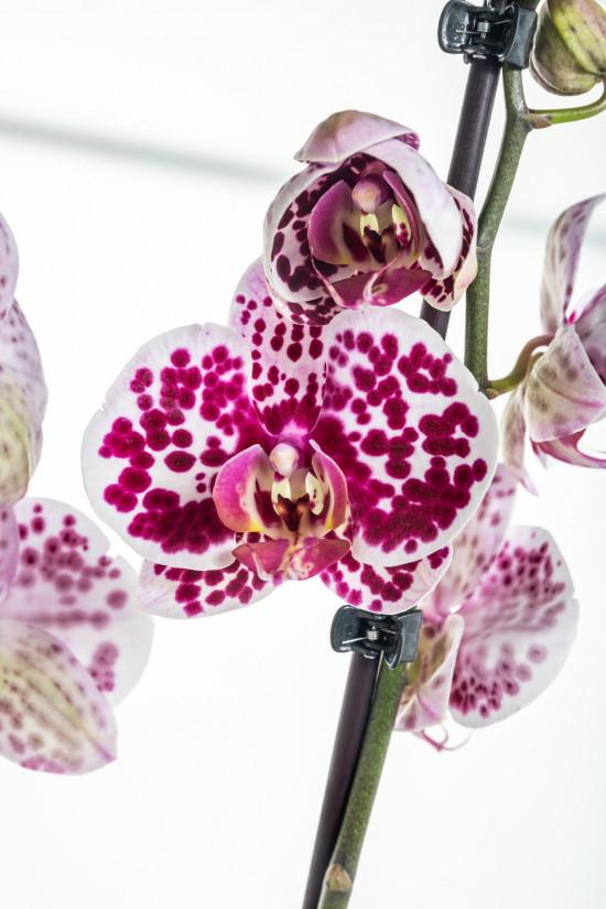 Orchidej Můrovec, Phalaenopsis Polka Dots, 2 výhony, bílo - vínová-11963