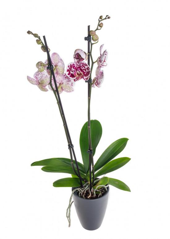 Orchidej Můrovec, Phalaenopsis Polka Dots, 2 výhony, bílo - vínová-11964