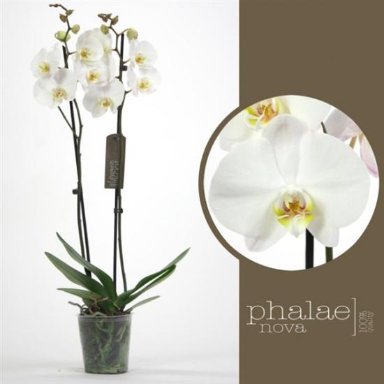 Orchidej Můrovec, Phalaenopsis York, 2 výhony, bílá-3422