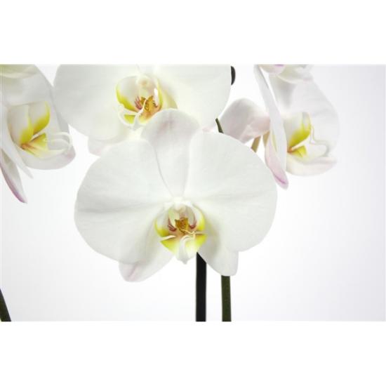 Orchidej Můrovec, Phalaenopsis York, 2 výhony, bílá-3423