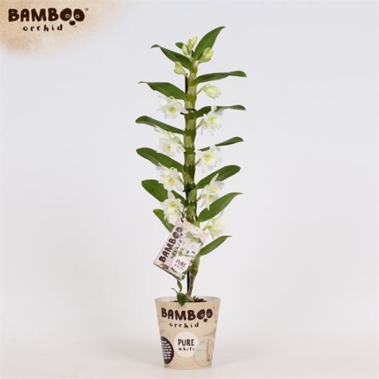 Orchidej Stromobytec, Dendrobium nobile, 1 výhon, bílá-3405