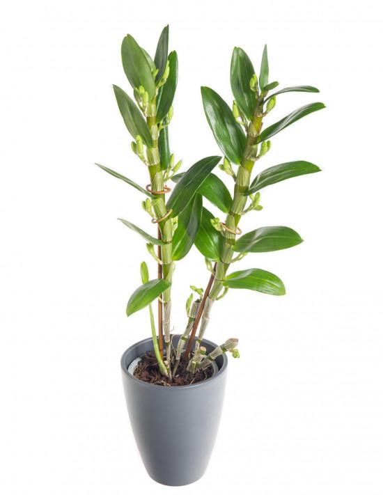 Orchidej Stromobytec, Dendrobium nobile, 2 výhon, bílo - růžová-7320