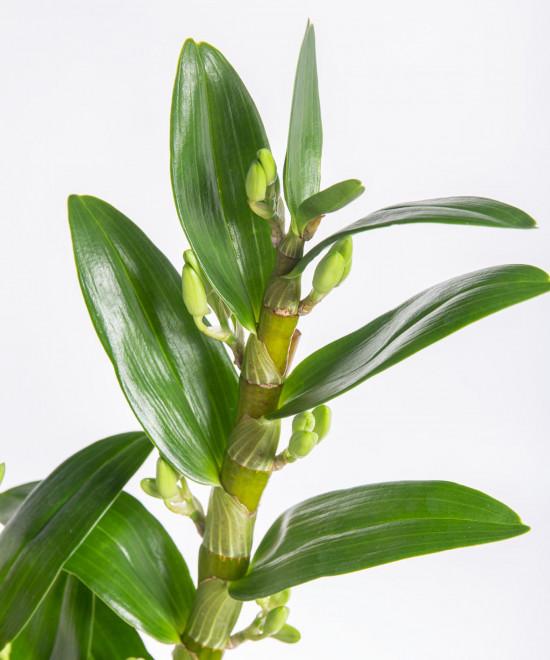 Orchidej Stromobytec, Dendrobium nobile, 2 výhon, bílo - růžová-7321
