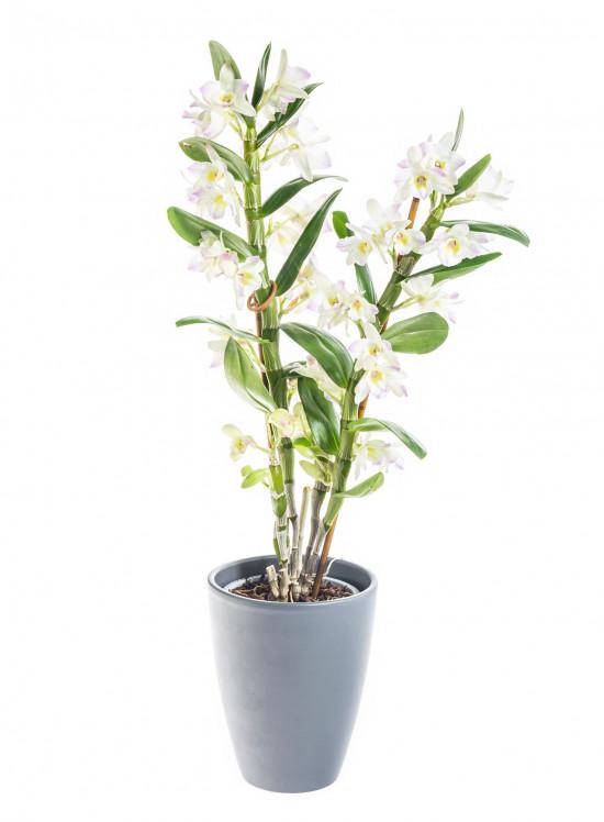 Orchidej Stromobytec, Dendrobium nobile, 2 výhon, bílo - růžová-8121