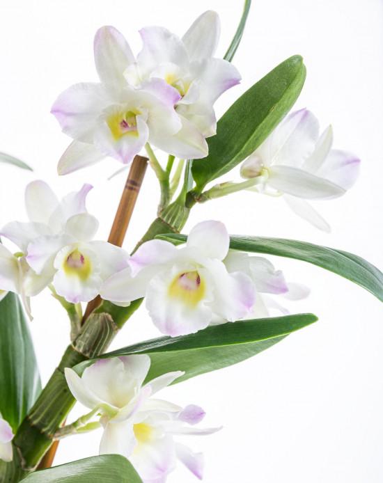 Orchidej Stromobytec, Dendrobium nobile, 2 výhon, bílo - růžová-8122
