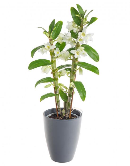 Orchidej Stromobytec, Dendrobium nobile, 2 výhony, bílá-7300
