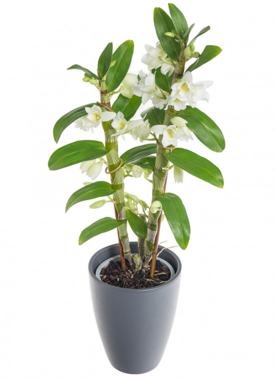 Orchidej Stromobytec, Dendrobium nobile, 2 výhony, bílá-7301