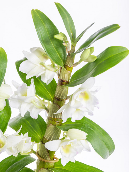 Orchidej Stromobytec, Dendrobium nobile, 2 výhony, bílá-7302